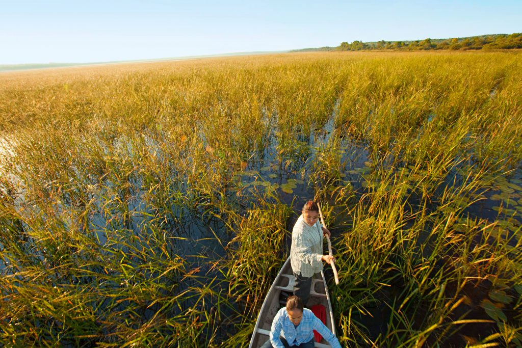 Hand-harvested by canoe, wild rice is a nutritious food essential to the traditional diet and a source of pride for all Minnesotans.