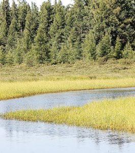 Wild rice waters in northern Minnesota